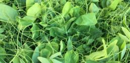 Recipe of the Week - Stir-fried Pea Shoots