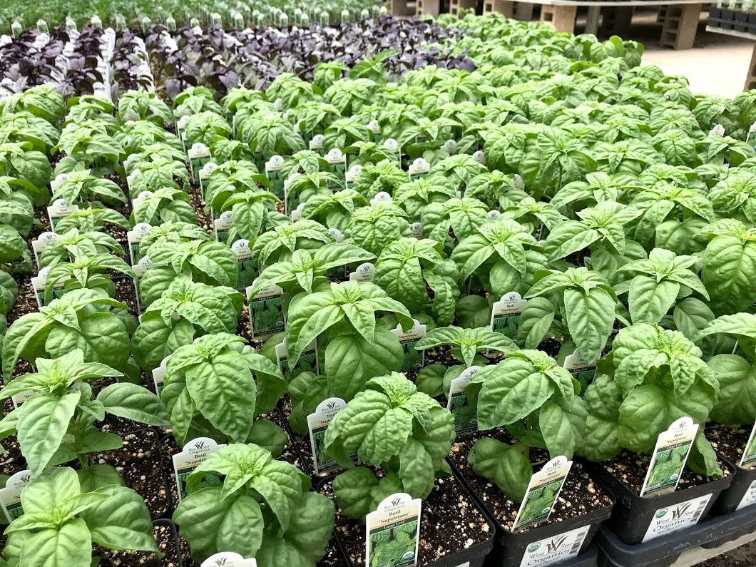 Basil ready for your garden and your summer pasta sauce