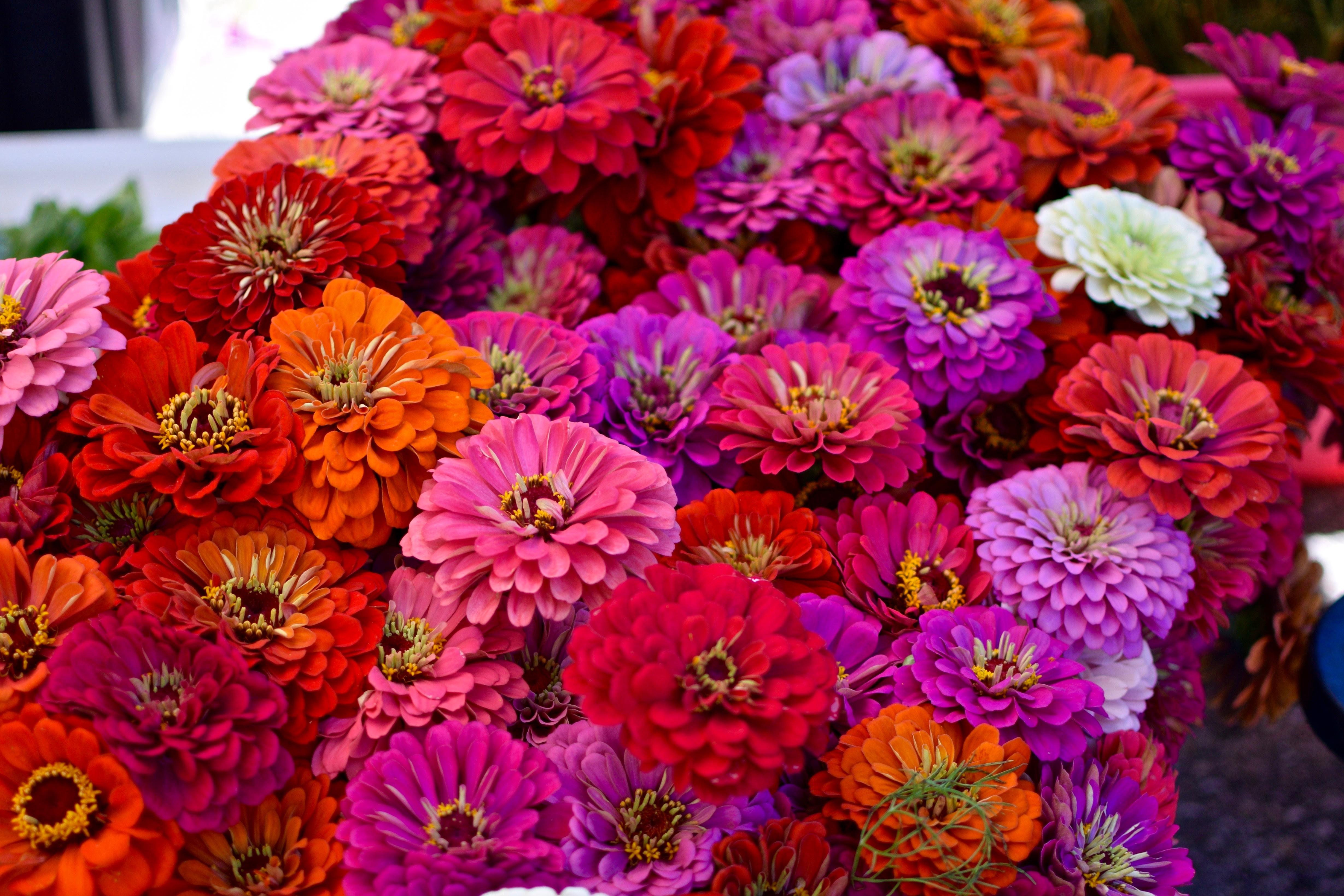 zinnia_flower_outdoor.jpg#asset:2189