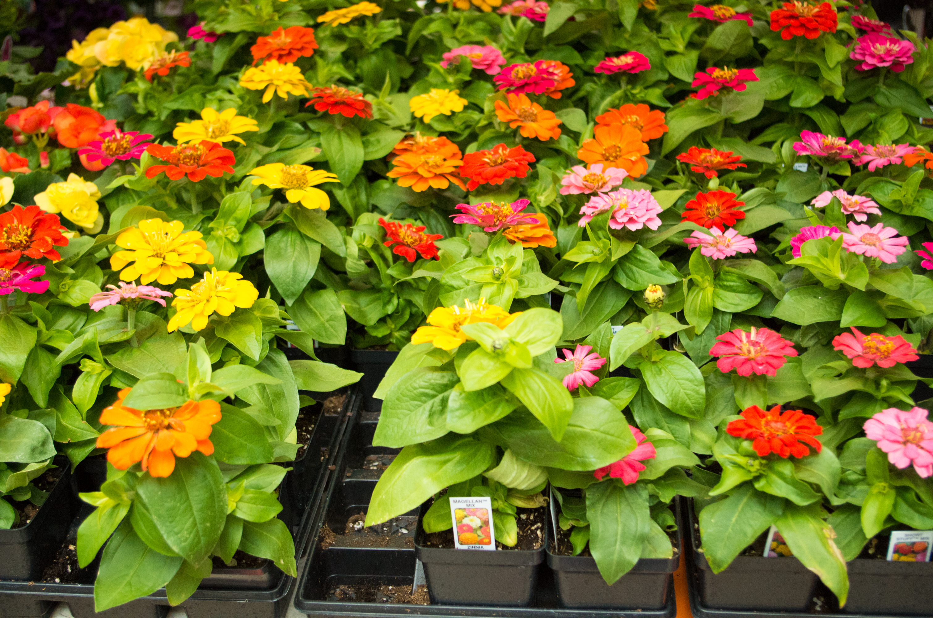 Zinnias are a 'pollinator-friendly' garden addition as they attract fluttering butterflies and buzzing bees
