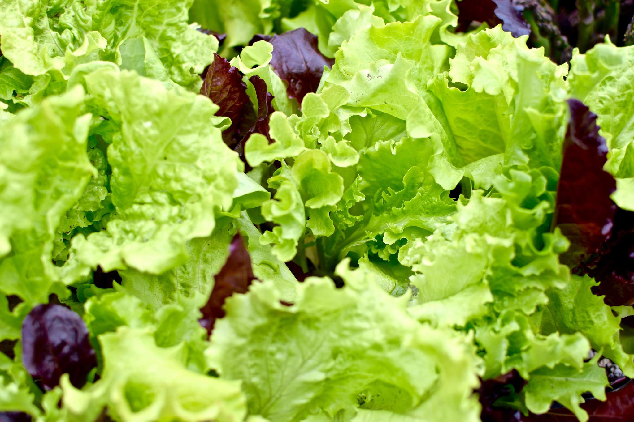 lettuce_outdoor.jpg#asset:1964